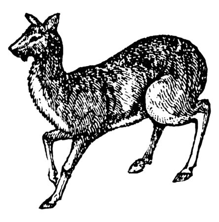 Musk Deer the only extant genus of the family Moschidae, vintage line drawing or engraving illustration.