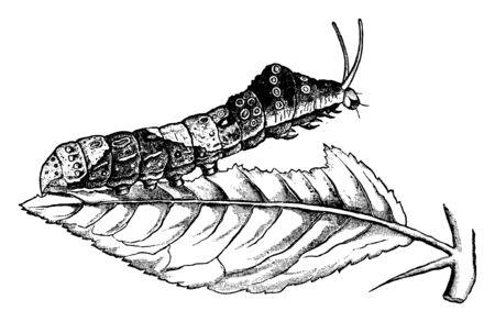 Orange Dog es oruga de Papilio cresphontes, línea vintage de dibujo o ilustración de grabado.
