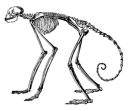 Monkey Skeleton which is the genus Ateles are New World monkeys in the subfamily Atelinae, vintage line drawing or engraving illustration.