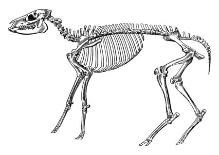 Skeleton of a mesohippus bairdi is an extinct genus of early horse and it lived some 30 to 40 million years ago from the Middle Eocene, vintage line drawing or engraving illustration.