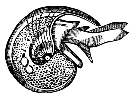 Rostralis Limacina is the shell of Limacina rostralis resembles a small nautilus in form, vintage line drawing or engraving illustration.