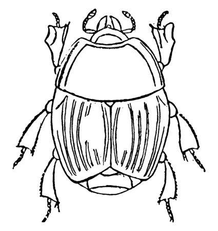 Hister Beetle with the wing covers cut off squarely behind, vintage line drawing or engraving illustration. Foto de archivo - 133061538
