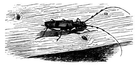 Rosalie Beetle is a very elegant species, vintage line drawing or engraving illustration. Foto de archivo - 133028102