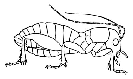 Sand Cricket is mostly found on the Pacific Coast, vintage line drawing or engraving illustration.