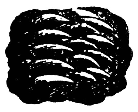 Partial Tiger Tongue has projections that face towards the throat called papillae, vintage line drawing or engraving illustration. 일러스트