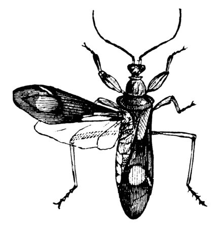 Two Spotted Corsair insect that lives in the branches of trees and bushes, vintage line drawing or engraving illustration.