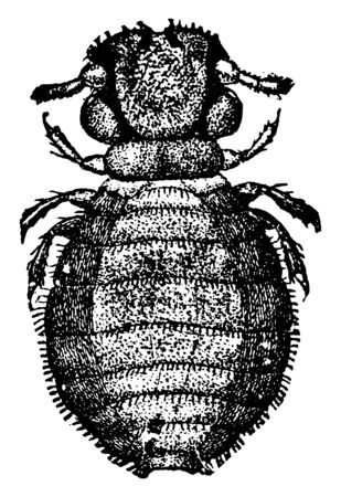 Biting Louse is a wingless insect of the order Mallophaga, vintage line drawing or engraving illustration. Ilustração
