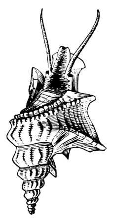 Spout Shell is a genus of gatropods with effuse channel like lip spines, vintage line drawing or engraving illustration.
