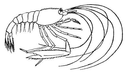 Mature shrimp is an adult shrimp, vintage line drawing or engraving illustration.