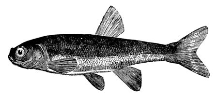 Minnow is one of the smallest of European fishes, vintage line drawing or engraving illustration. 向量圖像