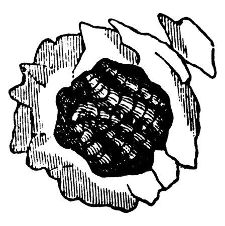 Potter Wasp is a cosmopolitan wasp group, vintage line drawing or engraving illustration. Ilustrace
