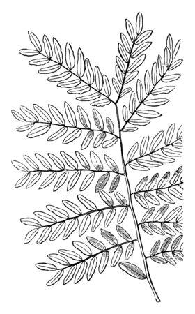 Honey-Locust leaves, vintage line drawing or engraving illustration.