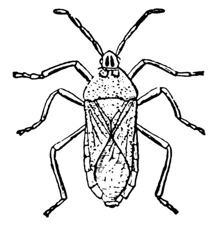 Stink Bug is secrete a foul smelling odor from two glands on the thorax, vintage line drawing or engraving illustration.