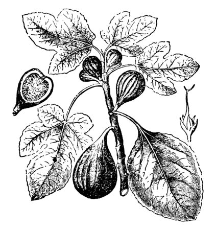 A sketch of Fig branch with multiple Figs on it, vintage line drawing or engraving illustration.