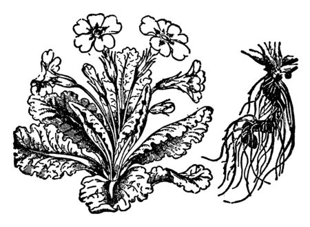 The image is of Primrose flowering plant. His leaves are broad and hair roots, vintage line drawing or engraving illustration. Illustration
