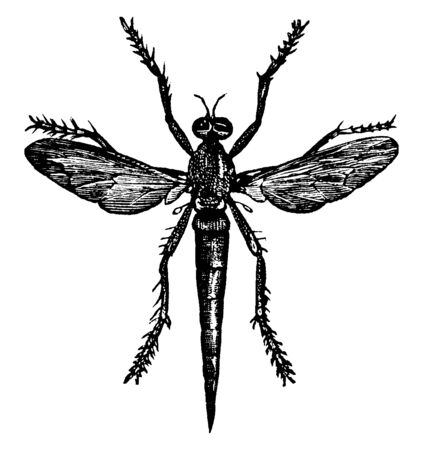 Robber Fly is an abundant and diverse family known for their predatory behavior, vintage line drawing or engraving illustration.