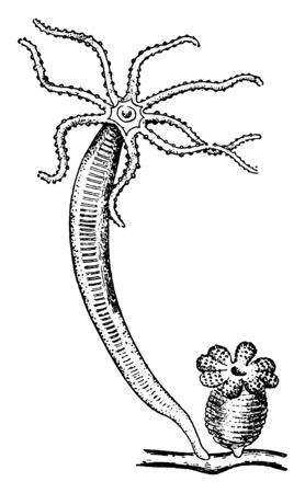 Hydra is in the Jellyfish family, vintage line drawing or engraving illustration.