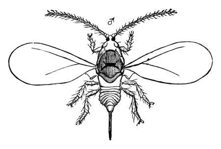 Oystershell Scale is a scale insect that is a pest of trees and woody plants, vintage line drawing or engraving illustration.