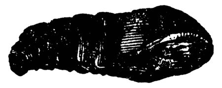Bagworm is a thyrtdopteryx ephemeraeformis species, vintage line drawing or engraving illustration. Ilustração