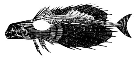 Flying Gurnard is from six to fifteen inches long, vintage line drawing or engraving illustration.