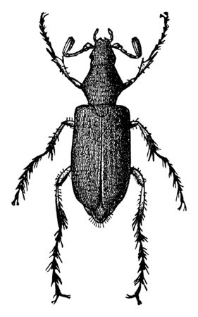 Rose Chafer is Macrodaclylus subspinosus species, vintage line drawing or engraving illustration.