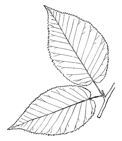 A picture showing the leaf of Magnolia tree which is a small tree or a bush four to twenty-five feet high, where its leaves are evergreen, vintage line drawing or engraving illustration. Ilustrace