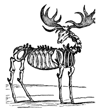 Fossilized elk is an extinct species of deer in the genus Megaloceros and is one of the largest deer that ever lived, vintage line drawing or engraving illustration.