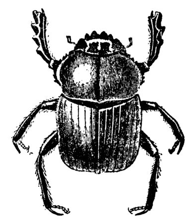 Dung Beetle is a black insect with brilliant metallic blue or purple reflections on the under side, vintage line drawing or engraving illustration.