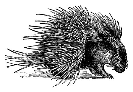 Hystrix Crystata Porcupine is about two feet long and of sluggish habits, vintage line drawing or engraving illustration.