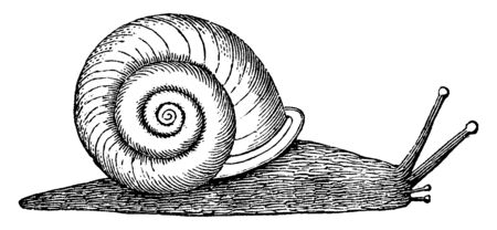 Helix refers to a genus of snails, vintage line drawing or engraving illustration.