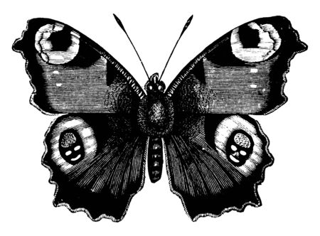 Peacock Butterfly has the edges of the wings denticulated, vintage line drawing or engraving illustration.