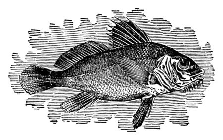 Drumfish found on the Atlantic coasts of North America, vintage line drawing or engraving illustration.