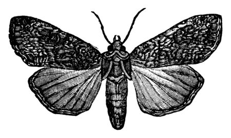 Pearly Underwing Moth with dark blackish grey shading on the wing margin and veins, vintage line drawing or engraving illustration.