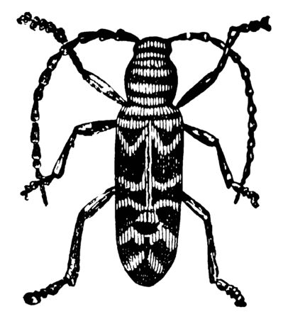 This image represents Locust Borer, vintage line drawing or engraving illustration. Illustration