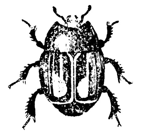 Mimic Beetle seldom exceed one third of an inch in length, vintage line drawing or engraving illustration.
