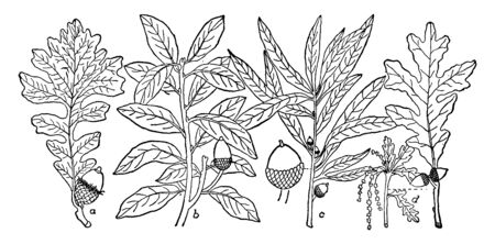 An image of various types of Oak leaves. Such as Bur Oak, Live Oak, Willow Oak, White Oak, etc, vintage line drawing or engraving illustration.