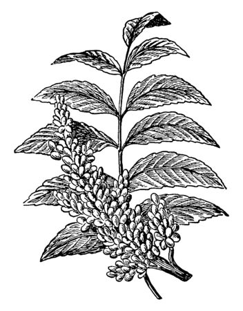 A Picture shows the branch of Sumac Plant. It is native to the Middle East and it has smooth-leaved. it produces deep red berries, which are dried and ground into coarse powder, vintage line drawing o