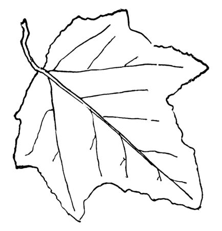 A leaf of Aspen, Poplar tree which is a native of Europe. The leaves of this tree are simple, alternate and usually slightly heart shaped, vintage line drawing or engraving illustration.
