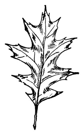 A picture of the leaf of a Pin-Oak tree. It is a fast-growing red oak that starts to produce its first acorns after it is 20 years of age, vintage line drawing or engraving illustration. Stock fotó - 133032306