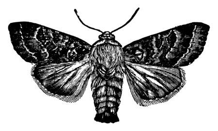 Hadena which is a devastatrix species, vintage line drawing or engraving illustration.