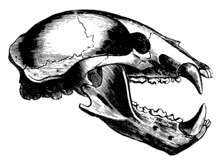 Wolf Skull which is the Family Canidae is comprised of thirty four species of wild Wolf found throughout the world, vintage line drawing or engraving illustration.