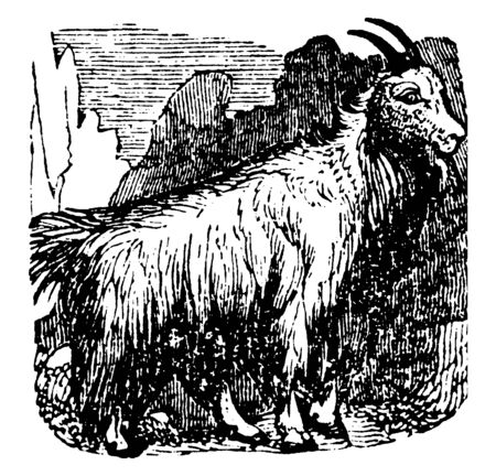 Mountain Goat also known as the Rocky Mountain goat is a large hoofed mammal endemic to North America, vintage line drawing or engraving illustration.