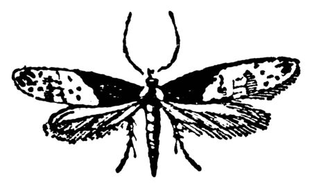 Tineina contain the smallest of the Lepidoptera, vintage line drawing or engraving illustration.