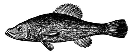 Pirate Perch has two dark bars at the base of the caudal fin, vintage line drawing or engraving illustration.