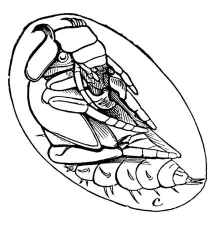 Water Scavenger Beetle is a hydrophilus triangularis species, vintage line drawing or engraving illustration.