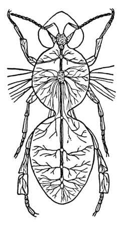 Nerve System  is a network of specialized cells that serve as an information highway  within the body, vintage line drawing or engraving illustration. Stock Illustratie