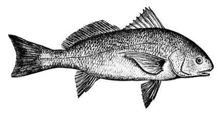 Roncador is a large and valuable food fish found off the coast of California, vintage line drawing or engraving illustration. Ilustração