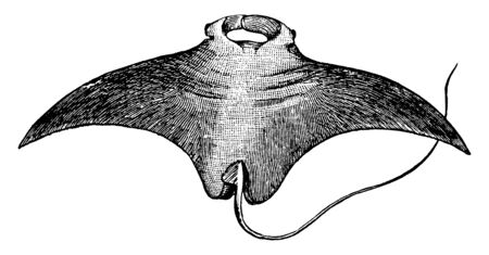 Giant Ray is a very large sting ray, vintage line drawing or engraving illustration. Vetores