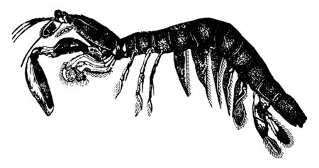 Squilla is frequently called the Sea Mantis, vintage line drawing or engraving illustration. Ilustração