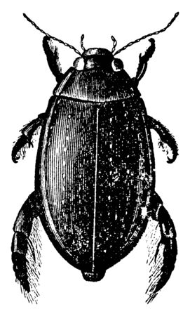 Great Diving Beetle that usually live in wetlands and ponds, vintage line drawing or engraving illustration.